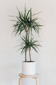 Fragrant Indoor Plants Low Light - best 25 indoor trees ideas on pinterest indoor tree plants