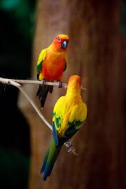 56 best sun conure parrots images on pinterest conure sun and