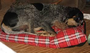 bluetick coonhound breeders near me backwoods bluetick kennels orlando fl georgia