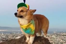 corgi corgi in a pinwheel hat video people com