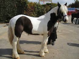 horse colors equine colors genetics and color breeds