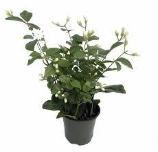 amazon com hirt u0027s arabian tea jasmine plant maid of orleans