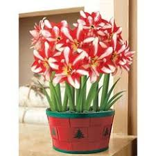 pearl snowy amaryllis 3 in 1 basket from breck s gifts