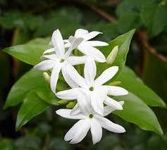 Jasmine Tea Flowers - allium ampeloprasum spanish allium jasmine tea jasmine and