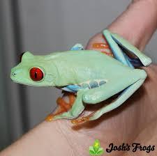eye tree frog agalychnis callidryas josh s frogs