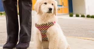 Comfort Golden Hospital Comfort Dog Named In Honor Of Patient