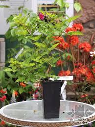 rubus spectabilis olympic from burncoose nurseries