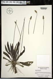 plants native to alabama plantago lanceolata species page apa alabama plant atlas