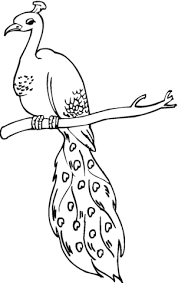 peacock colouring picture print coloring pages peacock coloring