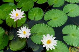 low light flowers aquatic plants and flowers proflowers blog