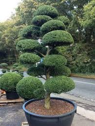 Topiary Cloud Trees - japanese traditional garden japanese cloud tree bonsai