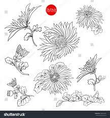 chrysanthemum flowers stock line vector illustration stock vector