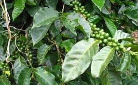 things we want to try coffee leaf tea modern farmer