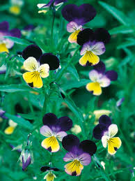 Plants For Winter Window Boxes - winter pansies hgtv