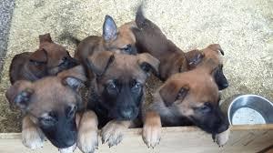belgian shepherd malinois temperament belgian malinois x german shepherd puppies royston