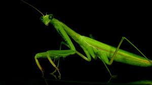 roses benefits of praying mantis