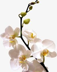 white orchid flower white orchid png images vectors and psd files free on