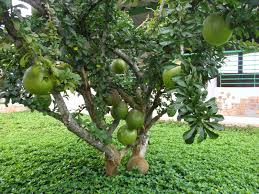 backyard with small calabash tree growing calabash trees in your