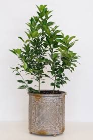 buy citrus bush medley lemon eureka u0026 key lime 3 gallon at root