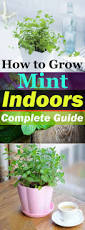 Easy Herbs To Grow Inside by Growing Mint Indoors U0026 How To Care It Balcony Garden Web
