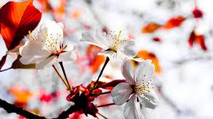 spring season flowers hd desktop wallpaper for 4k ultra hd tv