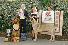 belgian sheepdog club of america national specialty meet puck a predator u0027s nightmare and impressive young show dog