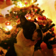 happy christmas from these boston terrier dogs