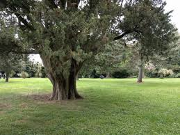 albero giardino albero secolare in giardino foto di reggia di caserta caserta