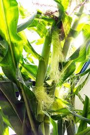 corn galore aquaponicsusa u0027s blog