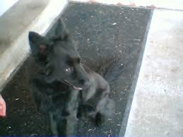 belgian shepherd kijiji would someone like to take a guess at what maverick may be pet