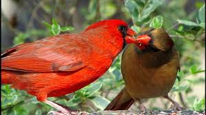 northern cardinals birds and golden french bird breeds cage