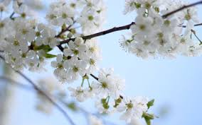 flowering tree mac backgrounds plant download hd wallpapers