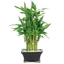 jade bonsai tree walmart com
