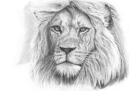pencil drawing of lion pencil drawing collection