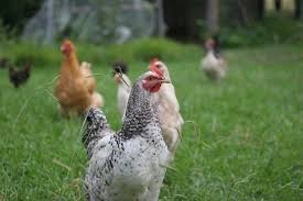 Chickens For Backyard How Many Chickens Do I Need To Keep Backyard Chicken Keeping