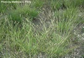 care of millet grass in gardens tips for growing ornamental millet