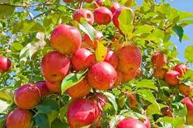 Apple Tree In My Backyard How To Prune An Apple Tree Organic Gardening Mother Earth News