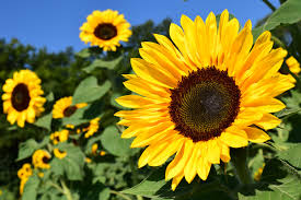 Sunflowers How To Plant Grow And Care For Sunflower Plants