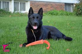 belgian sheepdog calendar 2016 search and rescue saturday 7 day challenge tales and tails