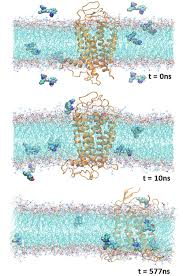 modeling and molecular dynamics md study of proteins membrane
