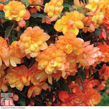 begonia x tuberhybrida u0027apricot shades improved u0027 f1 hybrid