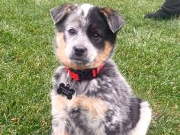 australian shepherd mix puppies for sale view ad texas heeler puppy for sale maryland baltimore usa