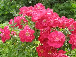knumathise real blue rose bush images knumathise purple rose