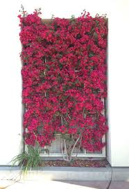 best 25 bougainvillea trellis ideas on pinterest mediterranean