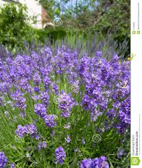 cottage garden flowers lavender flowers in cottage garden stock photo image 57382962