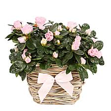 mothers day plants s day plants free delivery serenataflowers