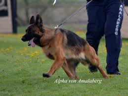 belgian shepherd ontario breeders amalaberg