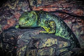 lagarto reptil rocas relax verde fondos de pantalla hd