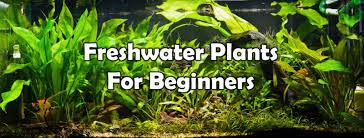 Live Plants In Community Aquariums by Best Freshwater Aquarium Plants For Beginners Ebay