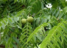 walnut tree in the backyard garden growing walnut trees in the